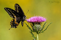 Thistle and Swallowtail