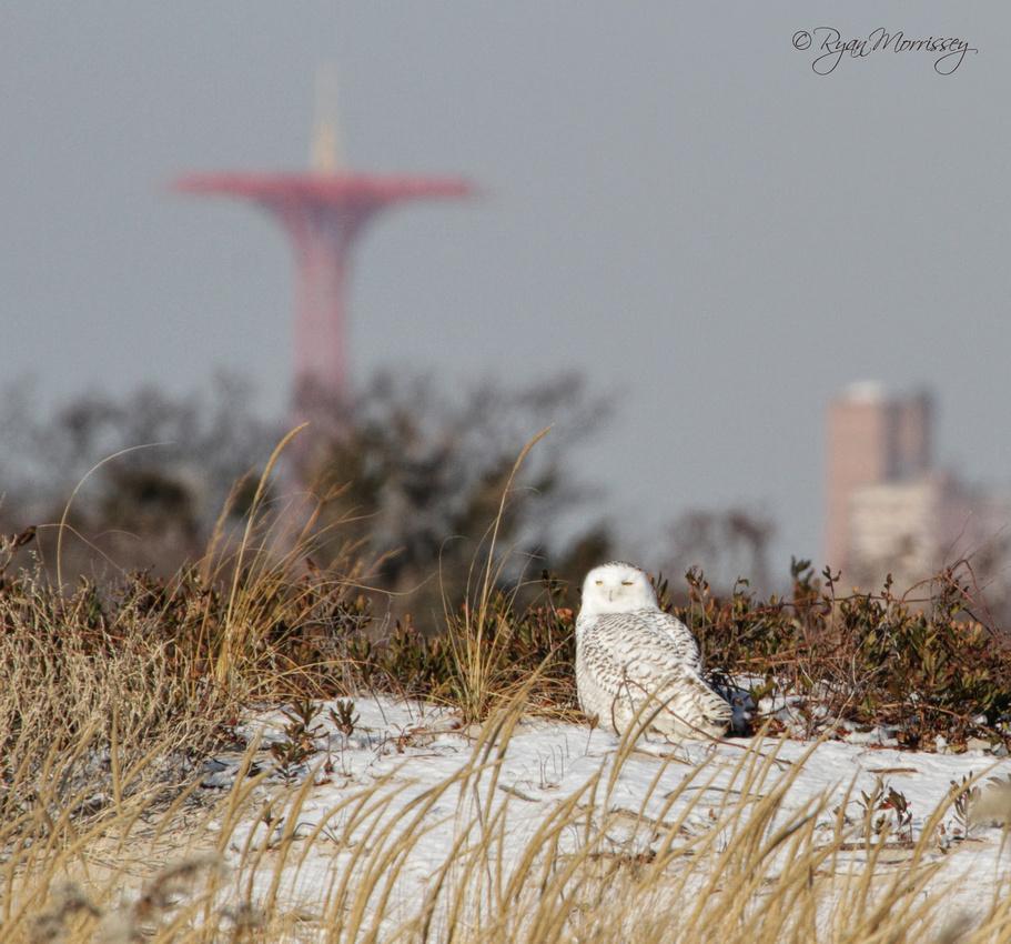 Snowy Owl Coney Island