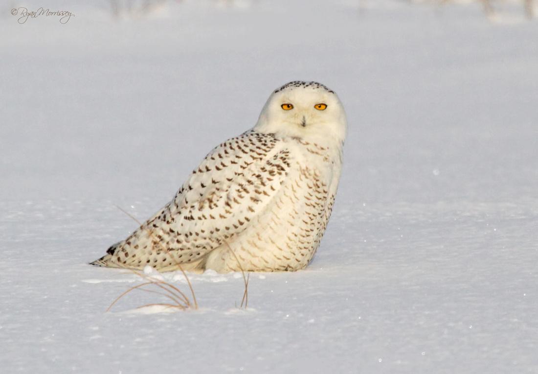 Snowy Stare