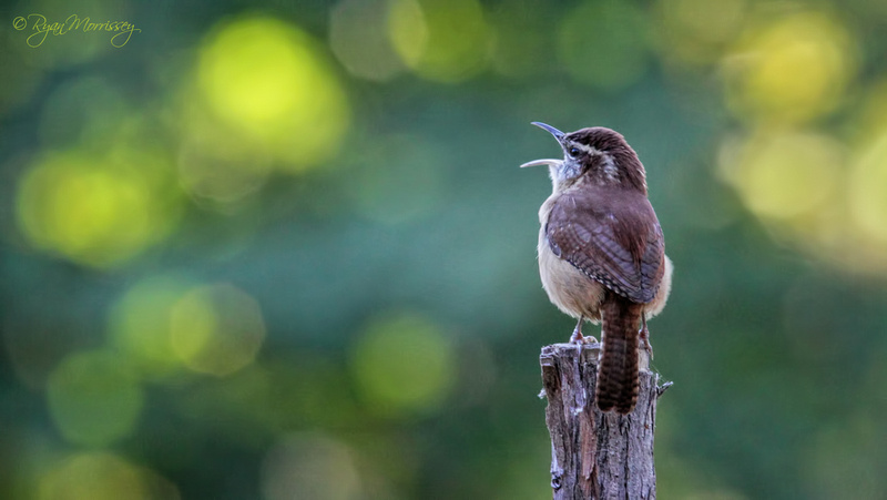 The World is my Stage - Carolina Wren