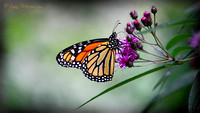 The King - Monarch Butterfly