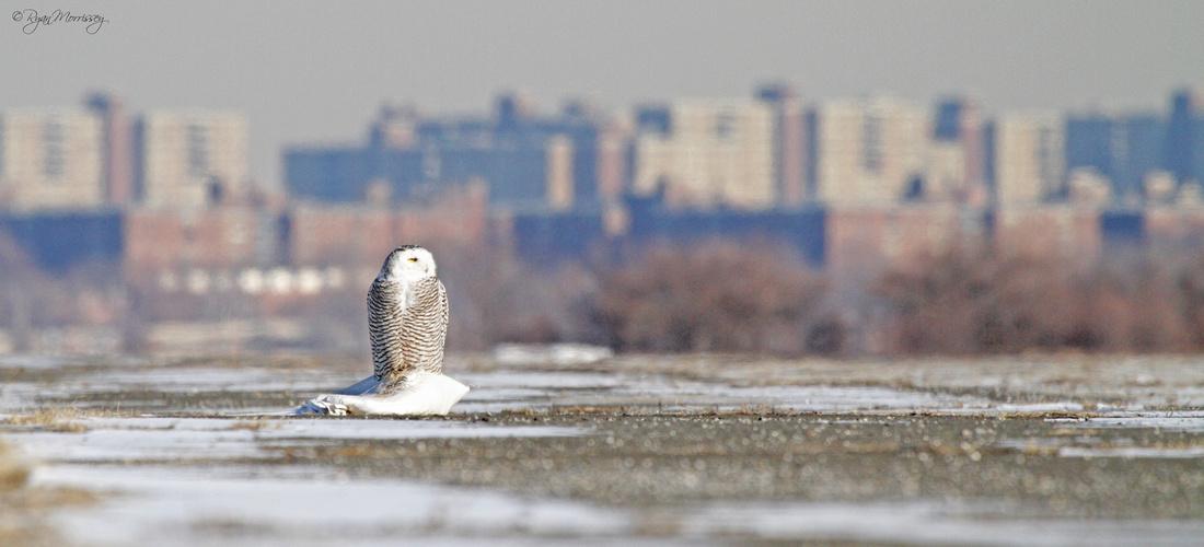 Urban Owl Vista